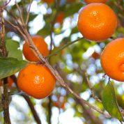 هایپر تره بار | نهال نارنگی
