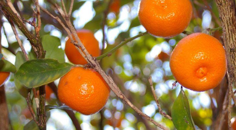 هایپر تره بار   نهال نارنگی