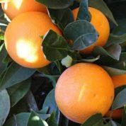 هایپر تره بار | نهال پرتقال هاملین