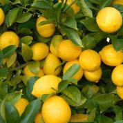 هایپر تره بار | نهال لیمو