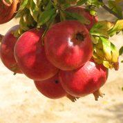 هایپر تره بار | درخت انار