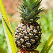 هایپر تره بار | بیماری ها و آفات آناناس