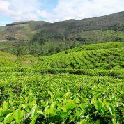 هایپر تره بار | احداث باغ چای