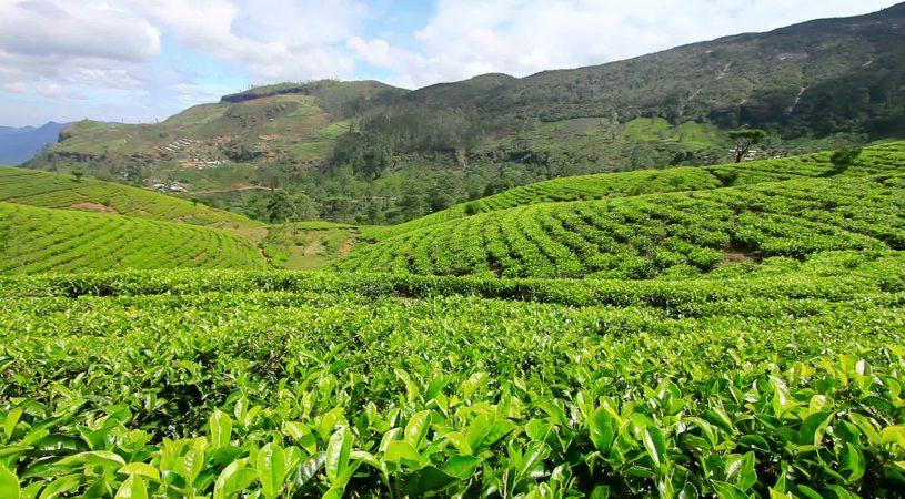 هایپر تره بار   احداث باغ چای