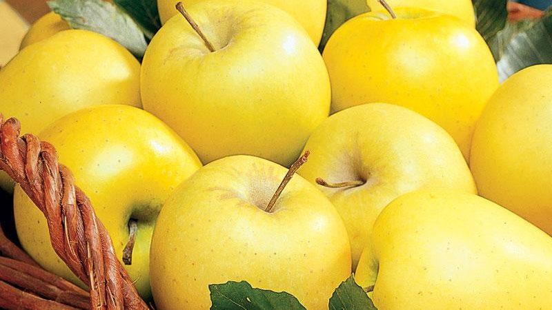 هایپر تره بار   نهال سیب گلدن دلیشز