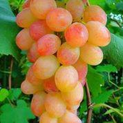 هایپر تره بار | انگور شاهرودی