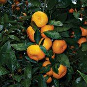 هایپر تره بار | میوه و نهال نارنگی