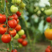 هایپر تره بار | بذر گوجه فرنگی
