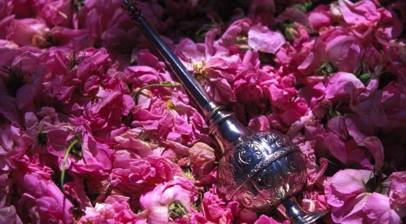 هایپر تره بار | گل محمدی (گل سرخ)