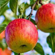 هایپر تره بار | نهال سیب فوجی