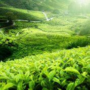 هایپر تره بار | آفات و بیماری های چای