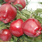 هایپر تره بار | نهال سیب سوپرچیف