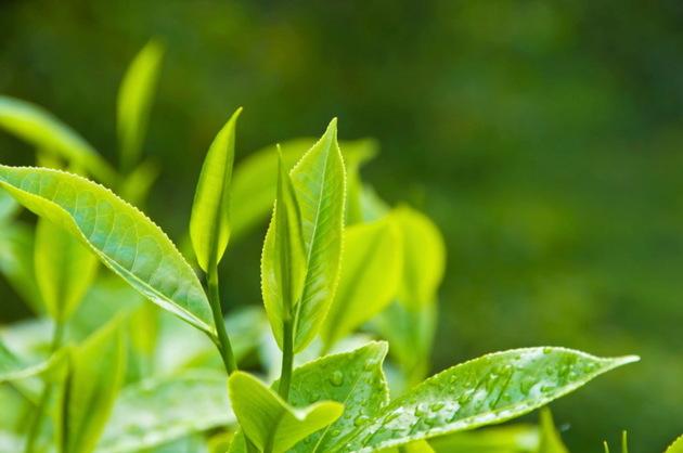 هایپر تره بار | گیاهشناسی چای