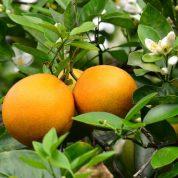 هایپر تره بار | نهال پرتقال والنسیا