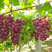هایپر تره بار | نهال انگور فخری