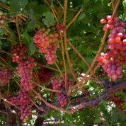 هایپر تره بار | نهال انگور قزل اوزوم