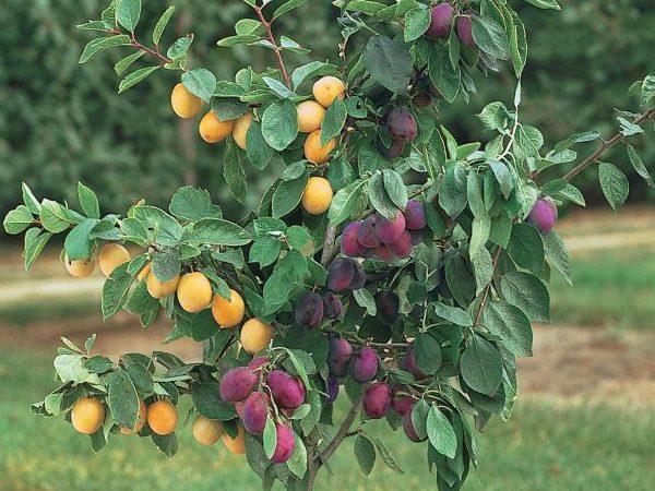 هایپر تره بار | نهال پیوندی چند میوه