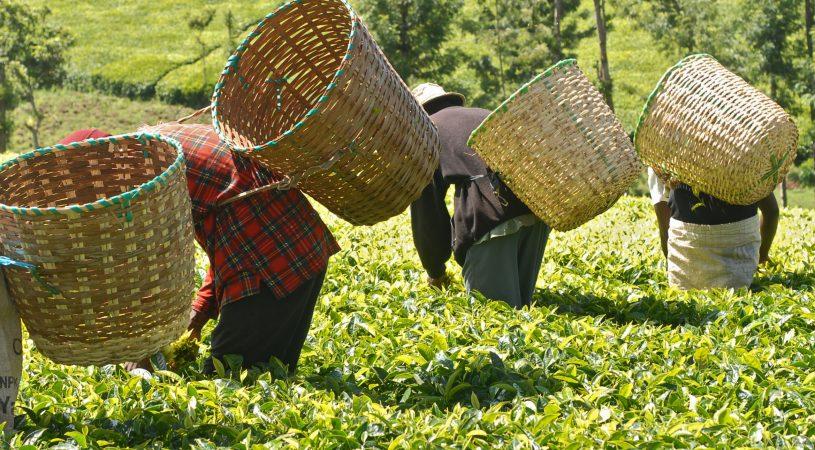 هایپر تره بار | صنعت چای
