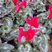 هایپر تره بار | گل سیکلامن