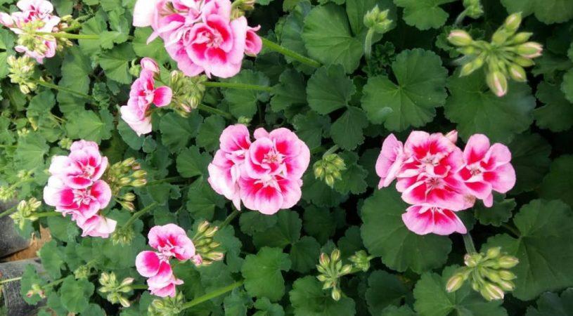 هایپر تره بار   گل شمعدانی هلندی