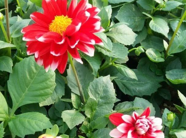 هایپر تره بار | گل کوکب هلندی