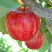هایپر تره بار | نهال سیب گالا