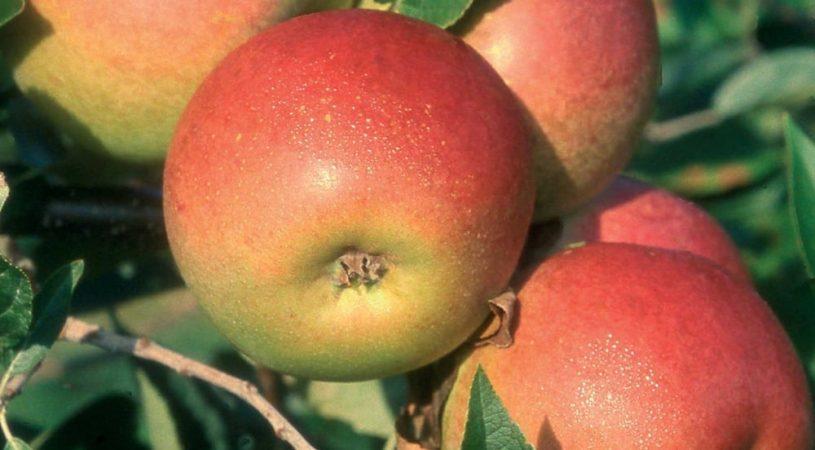 هایپر تره بار | نهال سیب کاکس اورنج