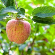 هایپر تره بار | نهال سیب گراون اشتاین