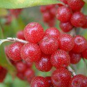 هایپر تره بار | نهال انگور ژاپنی