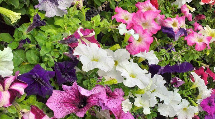هایپر تره بار | گل اطلسی