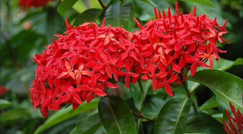 هایپر تره بار | گل ایکسورا